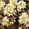 Saxifraga-paniculata.jpg