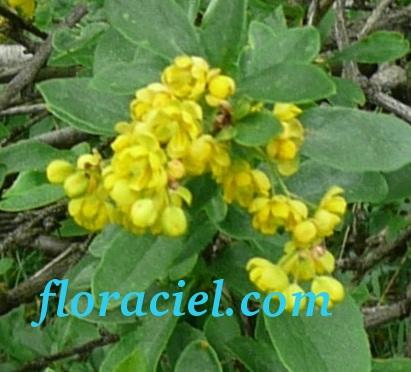 berberis-vulgaris14.jpg