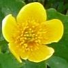 caltha-palustris100-1.jpg