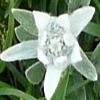Edelweiss5