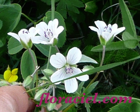 geranium-blc-10-1.jpg