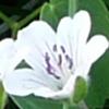geranium-blc-100.jpg