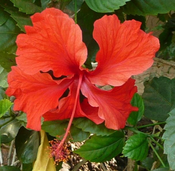 Hibiscus inde