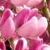 lupinus-polyphyllus100.jpg