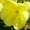oenothera-biennis100.jpg