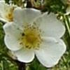 rosa-pimpinellifolia-100.jpg